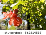 Pomegranate Tree  Flowers And...