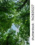 Treetop  Canopy  Crown Of The...