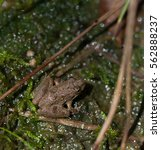 Small photo of Cricket Frog (Acris) near a wetlands area