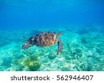 Sea Turtle In Water. Exotic...