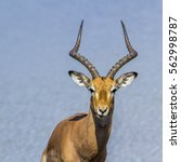 Small photo of Impala in Kruger national park, South Africa ; Specie Aepyceros melampus family of bovidae