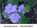 Small photo of Ageratum houstonianum. Ageratum Mexican. Ageratum houstonianum. Garden plants. Horizontal photo