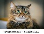 portrait of green eyes funny cat | Shutterstock . vector #563058667