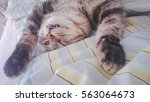 american curl cat in the house... | Shutterstock . vector #563064673