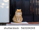 Beautiful Ginger Cat  At The...