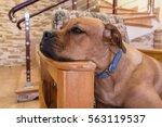 Young Bullmastiff Dog