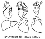 a set of human hearts and liver.... | Shutterstock .eps vector #563142577