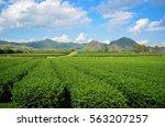 green tea farm on mountain with ... | Shutterstock . vector #563207257