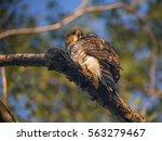 Cooper's Hawk Bird On A Branch