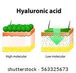hyaluronic acid. hyaluronic... | Shutterstock . vector #563325673