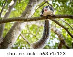 funny grizzled giant squirrel... | Shutterstock . vector #563545123