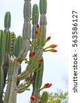 Cactus In Blossom