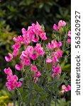 Pink Flowers Of Sweet Pea  ...