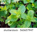 fresh mints leaves in the garden | Shutterstock . vector #563657947