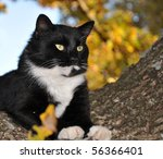 Handsome Tuxedo Cat With...
