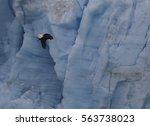 Bald Eagle In Front Of Glacier
