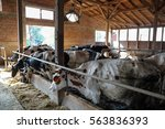 Cows In A Farm Cowshed. Dairy...