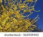 Blooming Flowers Of Forsythia...