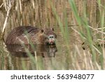Coypu Or River Rat Or Nutria  ...