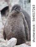 Small photo of Adelie Penguin chick on the Antarctic Peninsula.