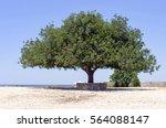 Alone Olive Tree