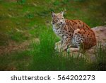 lynx sitting on stone | Shutterstock . vector #564202273