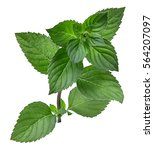 mint leaf isolated over white... | Shutterstock . vector #564207097