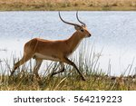 Antelope Lechwe  Kobus Leche  ...