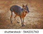 Patagonian Mara  Cute Animal...