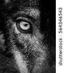 Small photo of Eye of iberian wolf (Canis lupus signatus). Fearless, free, wild, ambush and willpower concepts.