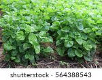 watercress in vegetable garden | Shutterstock . vector #564388543