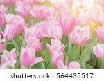 Pink Tulips Flower Blooming...