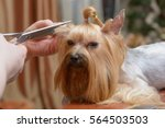 yorkshire terrier getting his... | Shutterstock . vector #564503503