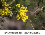 Acacia Flowers Close Up....