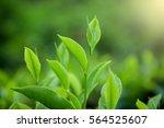 tea leave in tea plantation | Shutterstock . vector #564525607
