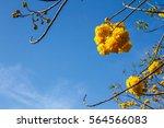 yellow silk cotton flower bloom ... | Shutterstock . vector #564566083