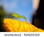 Green Grasshopper On Yellow...