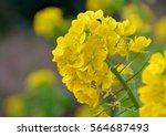 Closeup Image Of Rape Flowers...