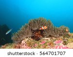 Small photo of Clownfish anemonefish fish