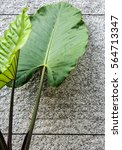 Small photo of Giant alocasia leaves and grey concrete wall background