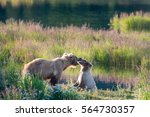 Small photo of An Alaskan brown bear sow and cub along the shore of the Brooks River in Katmai National Park, Alaska