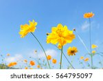 yellow cosmos flowers against... | Shutterstock . vector #564795097