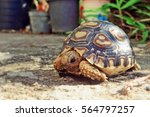 Baby Leopard Tortoise Sunbathe...