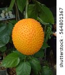 Small photo of Momorodica cochinchinensis Is a species of ancient Asia. It is more common in South Asia. Particularly in Southeast Asia. Gac is a plant in the family. (Cucurbitaceae) and Genus is a gourd.