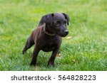 Patterdale Terrier Puppy