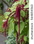 Small photo of Amaranthus cauditis (love lies bleeding)