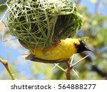 southern masked weaver  male . | Shutterstock . vector #564888277