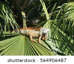 Orange Iguana In A Palm Tree.