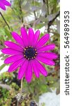 Small photo of Purple African daisy