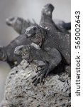 Small photo of Galapagos Marine iguana (Amblyrhynchus cristatus), Tortuga Bay, Santa Cruz, Galapagos Islands